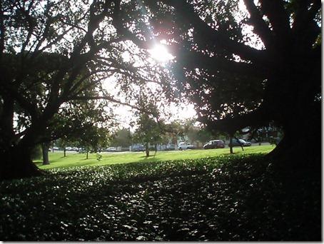 Sunlight through Figs